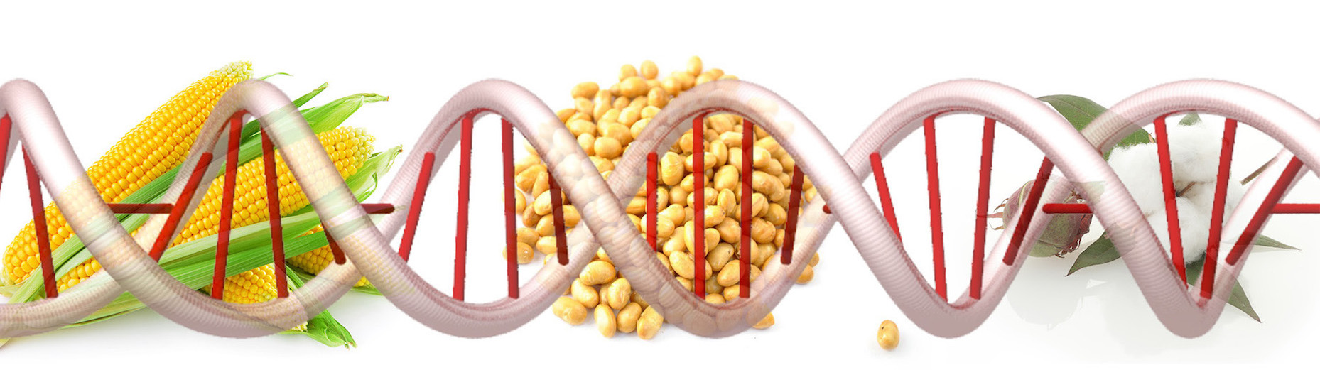 Genetically Modified Foods – A Public Health Risk